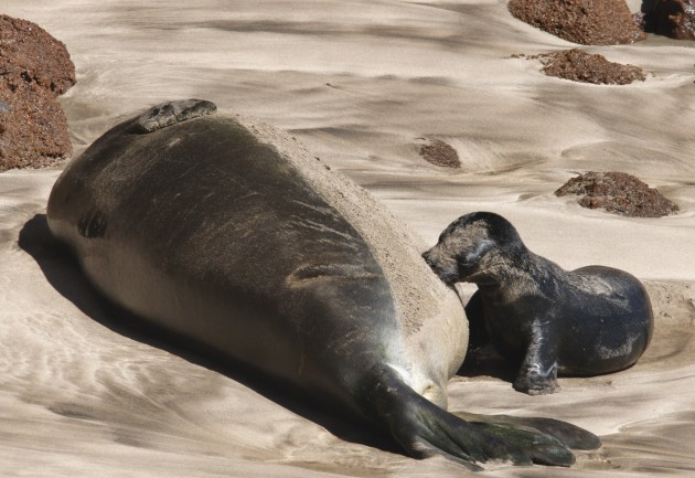 A Hawaiian Monk seal and her pup. (Photo by Tom Elliot)