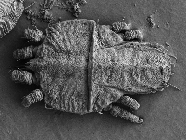 """Tenuipalpus hevae"" a Brazillian mite. (Photo courtesy Electron & Confocal Microscopy Unit USDA-ARS)"