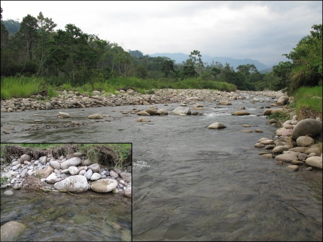 """F. yarigui was collected in Yariguíes National Park in Santander, Colombia. Fishes of the genus """"Farlowella"""" are commonly found in microhabitats with clear water and submerged vegetation."""