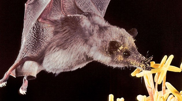 Love tequila? A toast to pollinating bats!