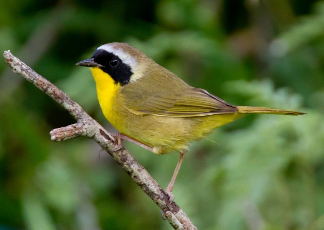 Male common yellowthroat (Photo by Dan Pancamo)