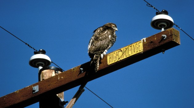 A rough-legged hawk uses a power line pole to survey the landscape for food at the Bosque del Apache National Wildlife Refuge in New Mexico. (By , John and Karen Hollingsworth, USFWS)