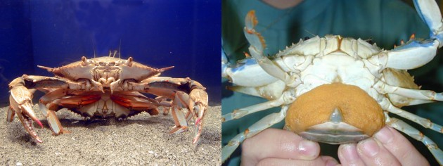 """Left: Two blue crabs mating. Right: A """"sponge crab."""" The sponge is a dense mass made up of millions of eggs. (SERC image)"""