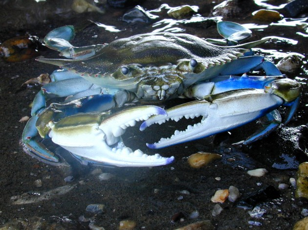 Male blue crabs can mate with multiple females. But with fewer men to go around, their female partners are left with less sperm to reproduce. (SERC image)