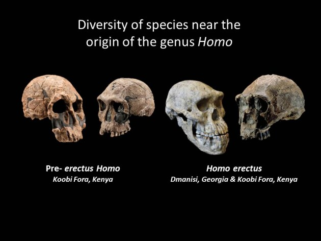 These fossil skulls, representing pre-erectus Homo and Homo erectus, exhibit diverse traits and indicate that the early diversification of the human genus was a period of morphological experimentation. In July 2014, Smithsonian paleoanthropologist Richard Potts and a team of researchers analyzed new scientific data and concluded that the ability of early humans to adjust to changing conditions ultimately enabled the earliest species of Homo to vary, survive and begin spreading from Africa to Eurasia 1.85 million years ago. (Kenyan fossil casts – Chip Clark, Smithsonian Human Origins Program; Dmanisi Skull 5 – Guram, Bumbiashvili, Georgian National Museum)