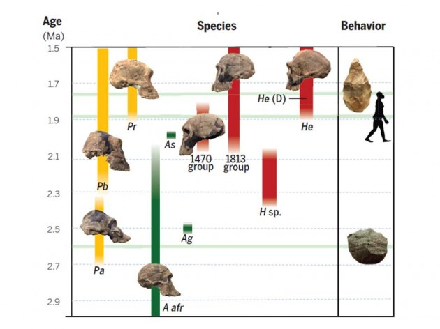 This chart depicts hominin evolution from 3.0-1.5 million years ago and reflects the diversity of early human species and behaviors that were critical to how early Homo adapted to variable habitats, a trait that allows people today to occupy diverse habitats around the world. In July 2014, Smithsonian paleoanthropologist Richard Potts and a team of researchers analyzed new scientific data and concluded that the ability of early humans to adjust to changing conditions ultimately enabled the earliest species of Homo to vary, survive and begin spreading from Africa to Eurasia 1.85 million years ago. (Image courtesy Rick Potts, Susan Antón and Leslie Aiello)