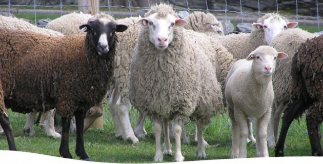 Santa Cruz Sheep (click photo for more information)