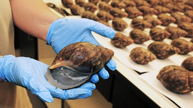 One of 67 live African giant snails intercepted July 1, at Los Angeles International Airport in a shipment from Nigeria. Intended for human consumption the snails are a major crop pest and banned from import into the United States.  (Greg Bartman, United States Department of Agriculture)