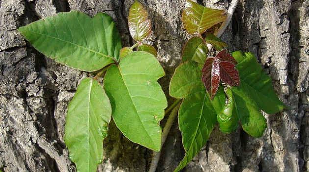 Poison ivy climbing up a tree trunk. (Photo by Zen Sutherland)