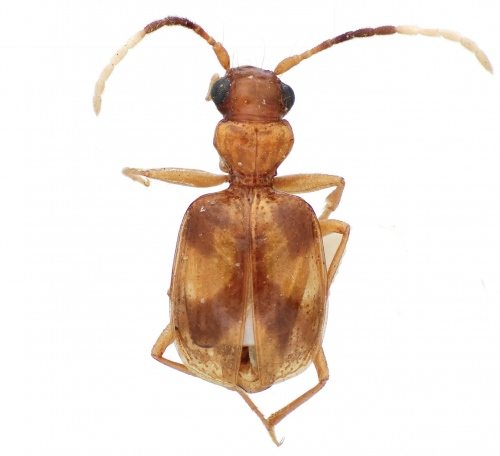 "The newly described carabid species ""Asklepia asuncionensis"" (Photo Credit: Terry L. Erwin and Laura S. Zamorano)"