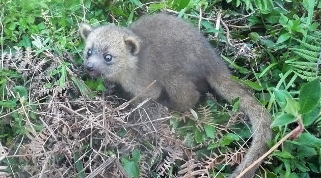 This baby olinguito was found in a nest 40 feet above the ground in a large dead bromeliad tree. It was the only baby in the nest. (Photo by Juan Rendon taken at the Mesenia-Paramillo Nature Reserve in Colombia)