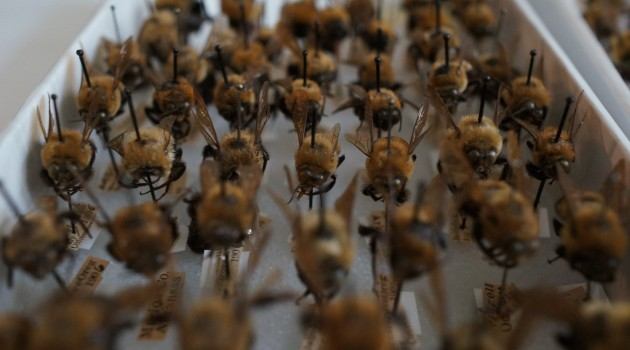 A tray of bumble bees from the National Museum of Natural History's bee collection awaits digitization. The museum is digitizing all 45,000 specimens in its collection and using virtual volunteers to help transcribe important data found on each specimen's tag. This data will help scientists studying declining bee populations in North America