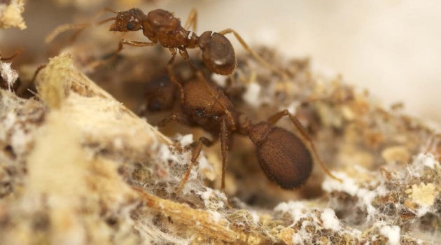 "A queen of the parasitic ""Mycocepurus castrator"" rides on the queen of its host species ""M. goeldii""; the pair of ants are surrounded by fungal gardens that the host species grows for sustenance, while the parasite species simply eats without contributing. (Photo by Scott Solomon)"