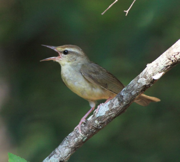 A singing male Swainson's warbler (Photo by Gary Graves)