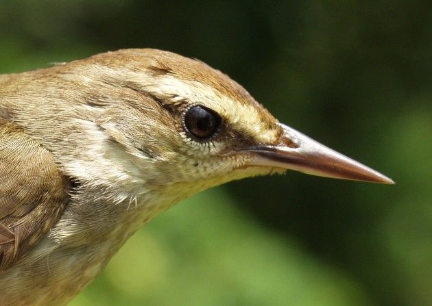 rare american warbler surprises scientists by adapting thriving in
