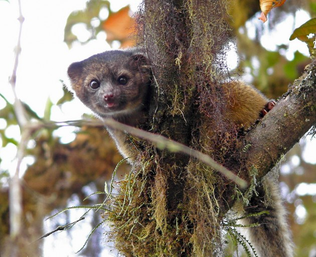 An olinguito in Tandayapa, Equador (Photo by Steve Blain)