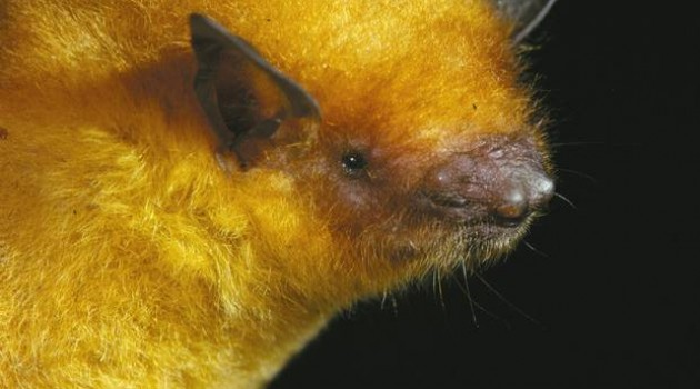 Bolivia's golden bat: one of six new species found by the Smithsonian's bat detective