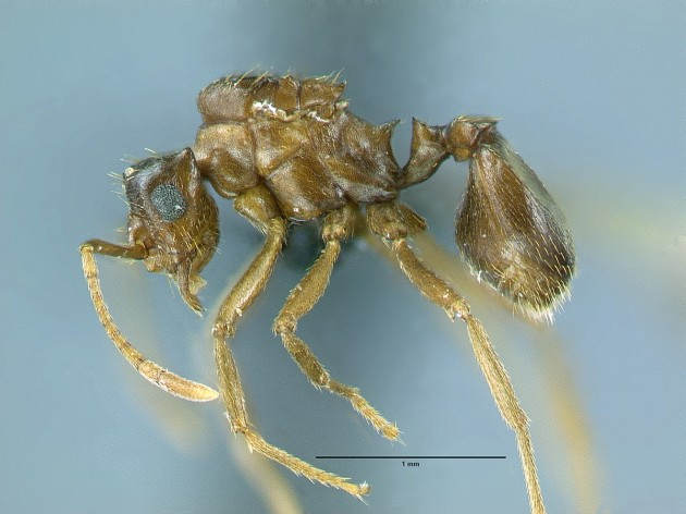 """A queen ant of the parasitic species """"Mycocepurus castrator"""". (Photo by Christian Rabeling, University of Rochester)"""