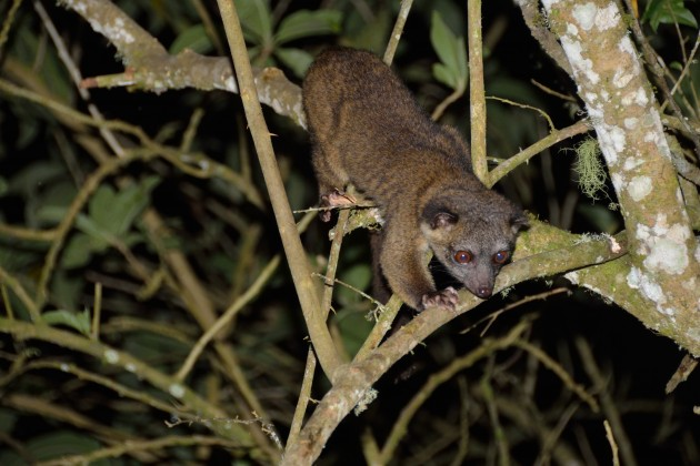 This adult olinguito was photographed by George Cruzat the Tandaypa Hummingbird Sanctuary in the Choco area of Ecuador.