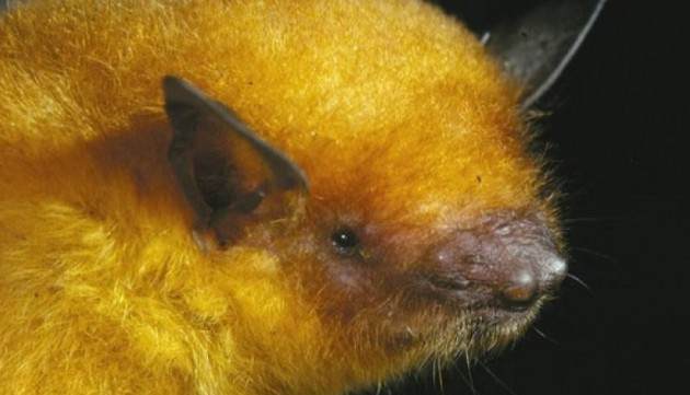 "Adult female of ""Myotis midastactus"" captured at Noel Kempff Mercado National Park, Department of Santa Cruz, Bolivia. Ricardo Moratelli and Don Wilson, mammalogist at the Smithsonian's National Museum of Natural History recently named this bat as a new species. (Photo courtesy Marco Tschapka)"