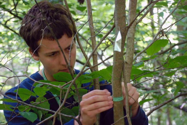 A student measures a newly tagged sapling at the University of Michigan's Edwin S. George Reserve northwest of Ann Arbor. (Photo by Dale Austin)
