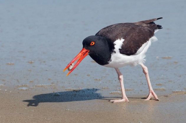 American oystercatcher (Photo by Kelly Colgan Azar)