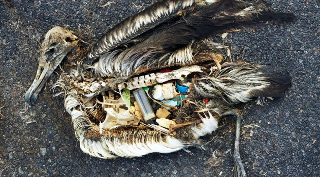 This albatross died filled with plastic items it had swallowed. (Photo by Chris Jordan)