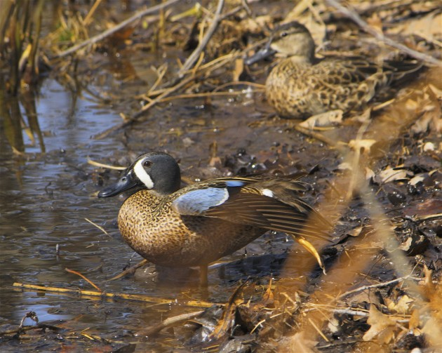Blue-winged teals (Photo by Dan Mullen)