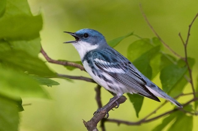 Cerulean warbler in Carrol County, Md. (Photo by Frode Jacobsen)
