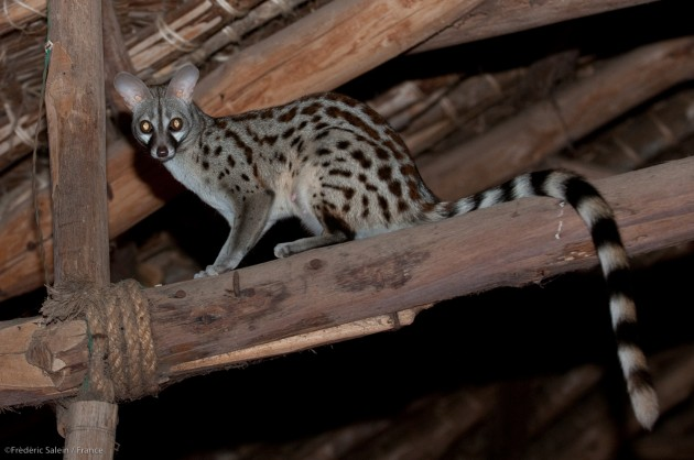 A female common genet, Satao Camp, Tsavo East (Photo by: Frédéric Salein)