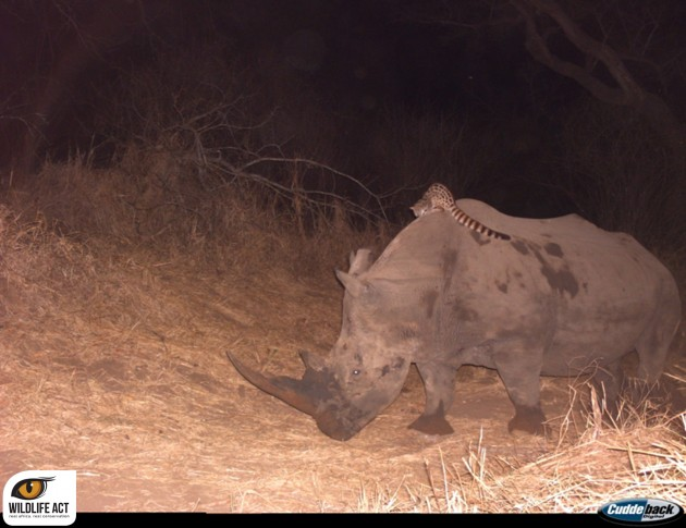 A genet riding a rhino. (Photo: WildlifeAct)