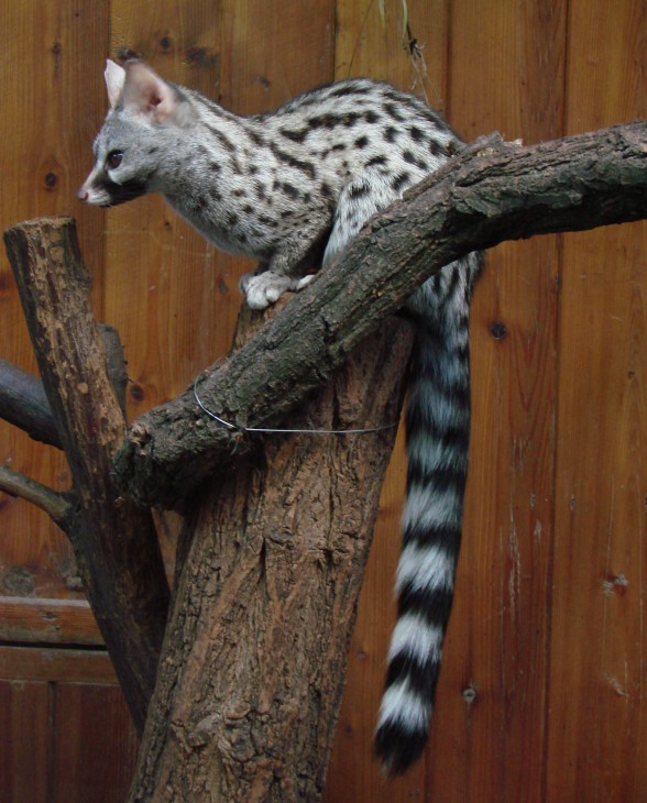 Common genet (Genetta genetta) at Wrocław zoo. (Photo by: Guérin Nicolas)