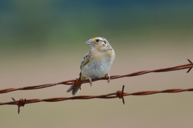 Grasshopper sparrow (Photo by Dave Govoni)
