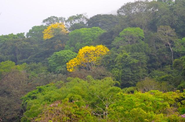 Guayacan canopy_ebk