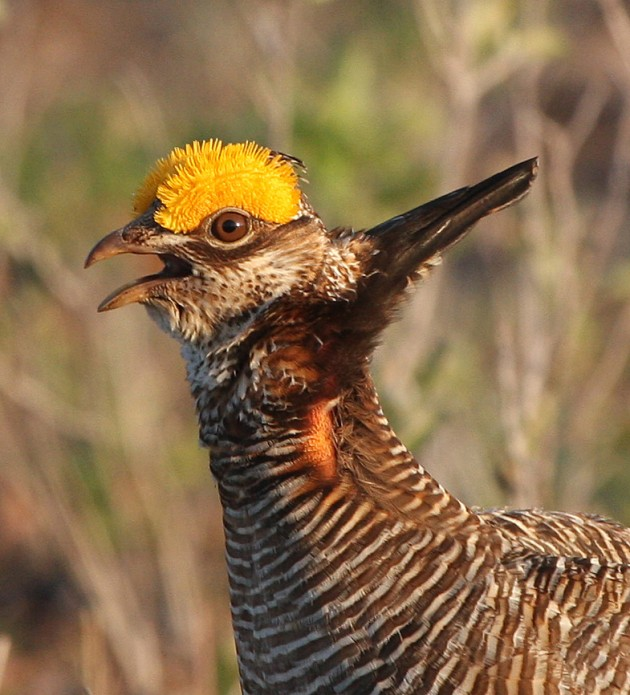Lesser prarie chicken (Photo by J.N. Stuart)