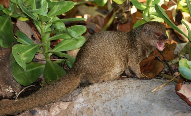 Feral mongoose on the island of O'ahu, Hawaii. (Photo by J.N. Stuart)