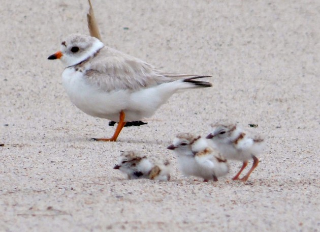 Piping plover chicks (Photo: Kaiti Titherington, USFWS)