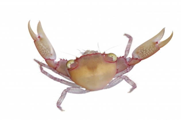 Small and large crabs belonging to Trapezia serenei (above) proved to be effective coral defenders against a range of predators; the smaller crabs protected the coral from Drupella snails while the larger crabs honed in on mid-sized sea stars. (Photo copyright David Liittschwager)
