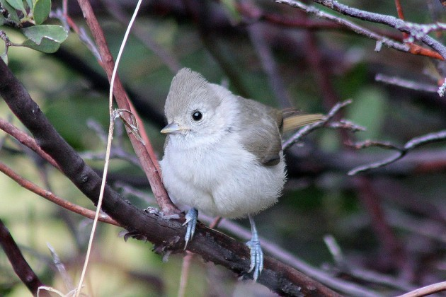 Female oak titmouse (Photo by David A. Hofman)