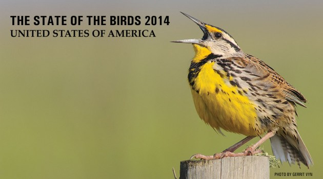 Eastern Meadowlark (Photo by Gerrit Vyn)