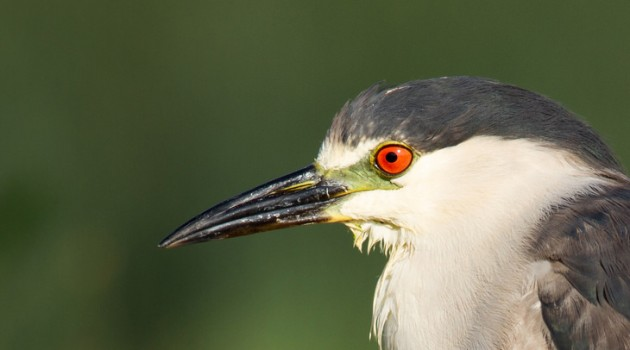 The great night heron mystery at the National Zoo