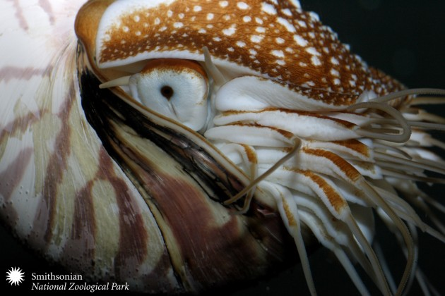 The shell of this nautilus at the Smithsonian's National Zoo clearly shows the deformity that started after it began living in an aquarium. (Photo by Mehgan Murphy)