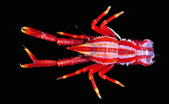 """The colorful squat lobster """"Allogalathea_elegans,"""" is native to (Photo by  T. Y. Chan and C. W. Lin)"""