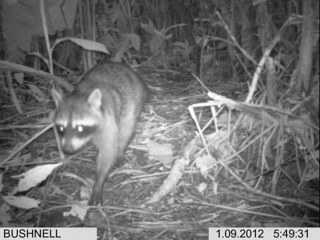 "This photograph snapped by an infrared camera trap shows a northern raccoon,  ""Procyon lotor."" (Photo by S. Amanda Caudill)"