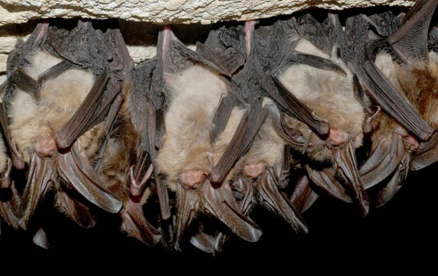 Hibernating Virginia big eared bats in cave (Photo: Stihler Craig, U.S. Fish and Wildlife Service)