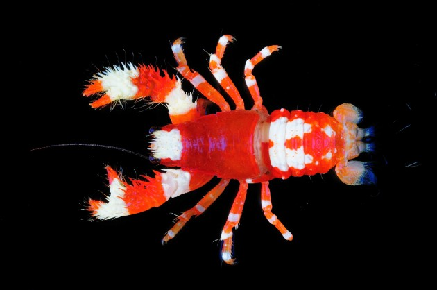 """The squat lobster """"Macrothea_bochardi"""" lives in the Indian Ocean off the coast of  Southeast Africa.  (Photo by T. Y. Chan and C. W. Lin)"""