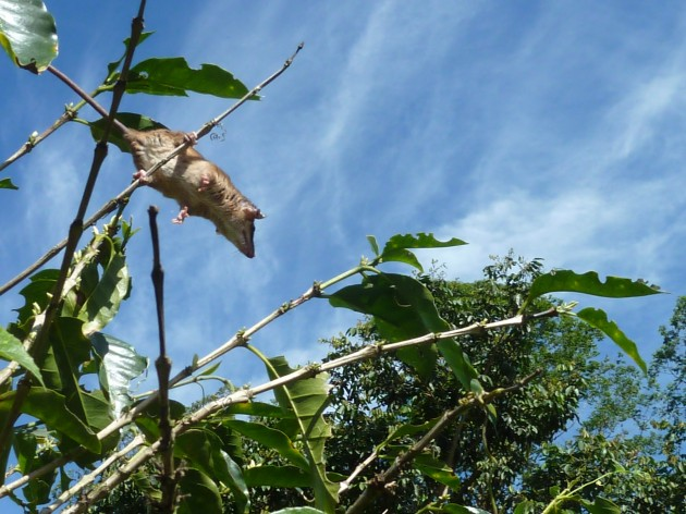 "A Robinson's mouse opossum, ""Marmosa robinsoni,"" leaps from one coffee branch to the next in a plantation in Costa Rica. (Photo by S. Amanda Caudill)"