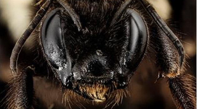 Rare rusty-patched bumble bee discovered in Virginia survey