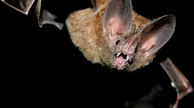 A fringe-lipped bat, Trachops cirrhosis (Photo: Sean Mattson/ STRI)