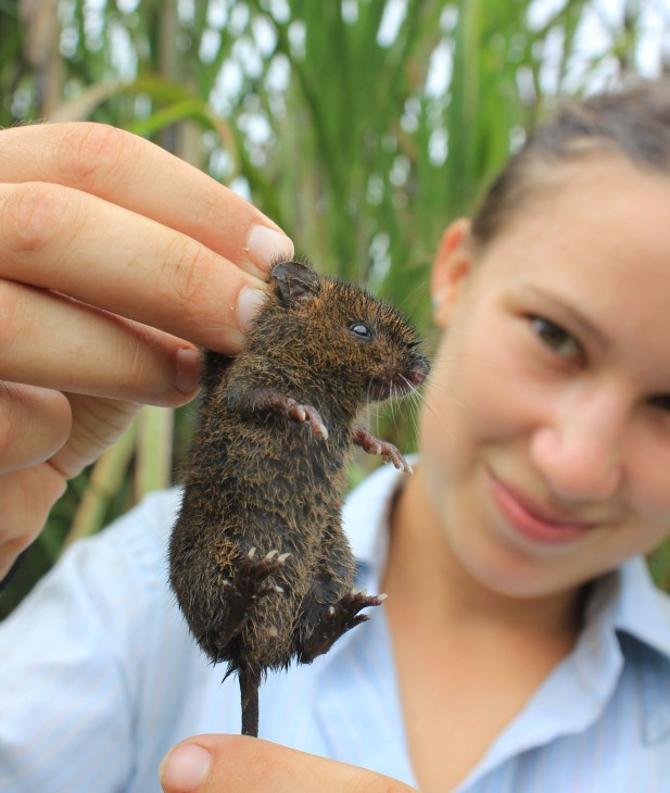 "Mammal survey field assistant Megan Banner holds a dusky rice rat, ""Melanomys caliginosus,"" that was caught in a live trap. (Photo by Christopher Russell)"